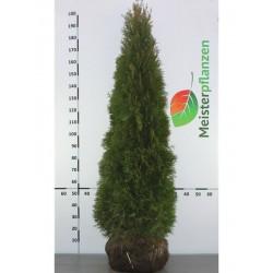 Lebensbaum Smaragd 200-225 cm, Wurzelballen