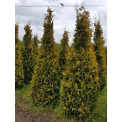 Lebensbaum Thuja Yellow Ribbon 60-80 cm, Wurzelballen | Gardline