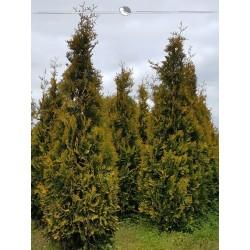 Lebensbaum Yellow Ribbon 80-100 cm, Wurzelballen