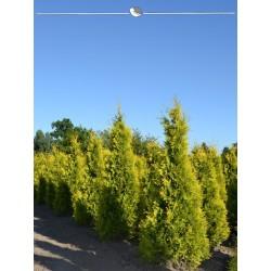 Lebensbaum Yellow Ribbon 140-160 cm, Wurzelballen EXTRA