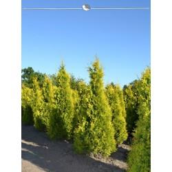 Lebensbaum Yellow Ribbon 180-200 cm, Wurzelballen EXTRA