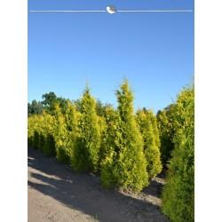 Lebensbaum Yellow Ribbon 200-225 cm, Wurzelballen