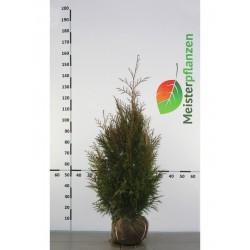 Lebensbaum Thuja Plicata Martin 80-100 cm, Wurzelballen | Gardline