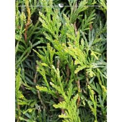 Lebensbaum plicata Martin 100-120 cm, Wurzelballen