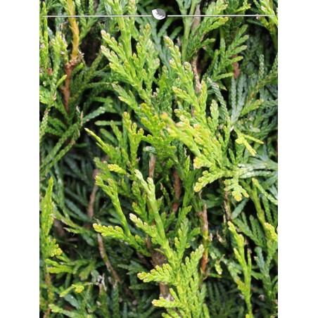 Lebensbaum Thuja Plicata Martin 100-120 cm, Wurzelballen   Gardline