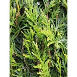 Lebensbaum Thuja Plicata Martin 120-140 cm, Wurzelballen | Gardline