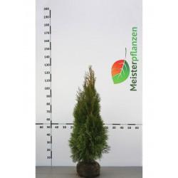 Immergrüne Heckenpflanzen Lebensbaum Thuja Smaragd 100-120 cm Ab 10 Koniferen