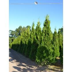 Lebensbaum Thuja Plicata Martin 140-160 cm, Wurzelballen | Gardline