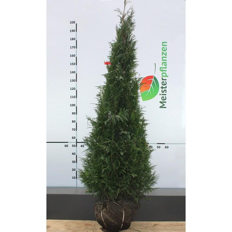 Lebensbaum Thuja Plicata Martin 160-180 cm, Wurzelballen | Gardline