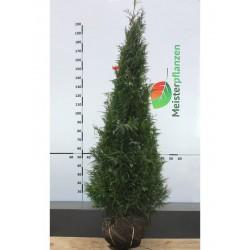 Lebensbaum Thuja Plicata Martin 200-225 cm, Wurzelballen | Gardline