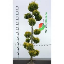 Gelbe Scheinzypresse Ivonne 120-140 cm, Wurzelballen