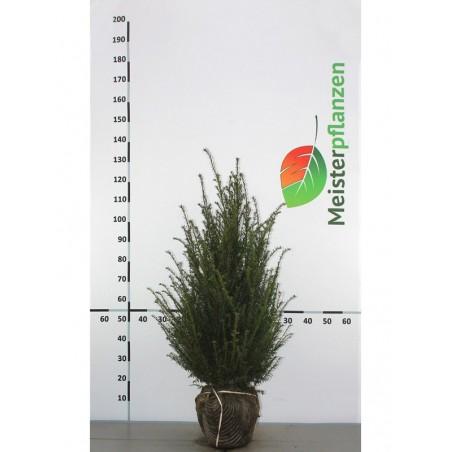 Gemeine Eibe 30-40 cm, Wurzelballen