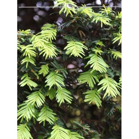 Gemeine Eibe 40-50 cm, Wurzelballen | Gardline