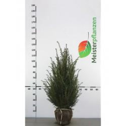 Gemeine Eibe 40-60 cm, Wurzelballen | Gardline