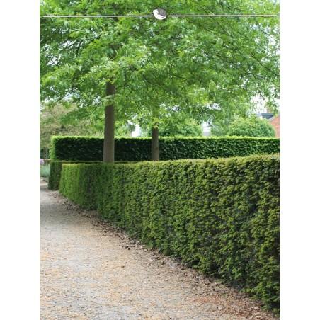 Gemeine Eibe 50-60 cm, Wurzelballen | Gardline