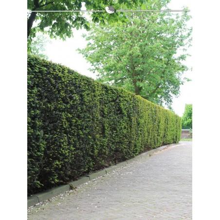 Gemeine Eibe 60-80 cm, Wurzelballen | Gardline