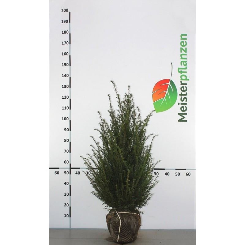 Gemeine Eibe 80-100 cm, Wurzelballen | Gardline