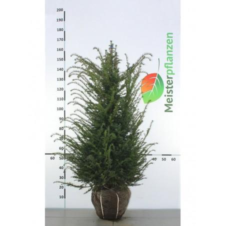 Gemeine Eibe 100-120 cm, Wurzelballen | Gardline