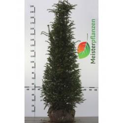 Gemeine Eibe 160-180 cm, Wurzelballen | Gardline