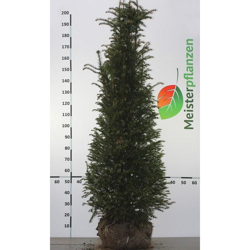 Gemeine Eibe 160-180 cm, Wurzelballen   Gardline