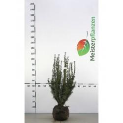 Fruchtende Bechereibe 40-50 cm, Wurzelballen | Gardline