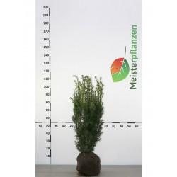 Fruchtende Bechereibe 50-60 cm, Wurzelballen | Gardline