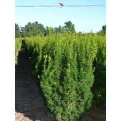 Fruchtende Bechereibe 80-100 cm, Wurzelballen | Gardline