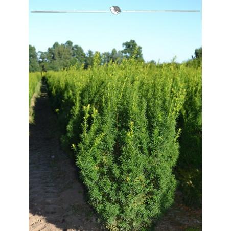 Fruchtende Bechereibe 100-120 cm, Wurzelballen   Gardline