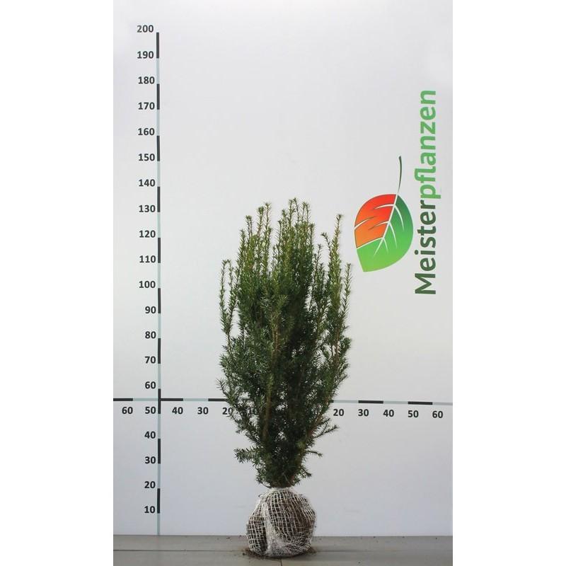 Fruchtende Bechereibe 140-160 cm, Wurzelballen | Gardline