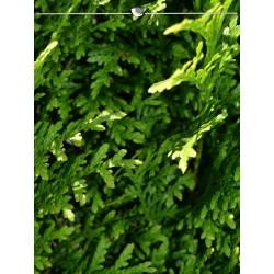Lebensbaum Thuja Brabant 80-100 cm, Wurzelballen | Gardline