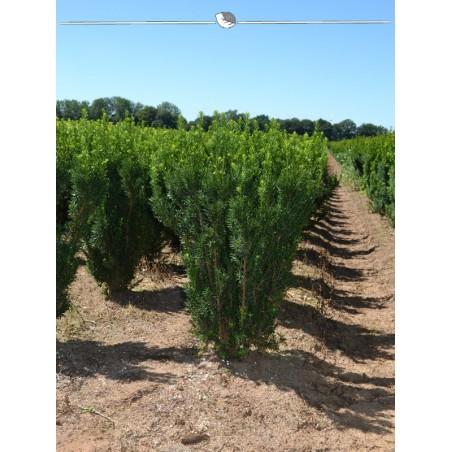 Nicht-Fruchtende Bechereibe 50-60 cm, Wurzelballen | Gardline