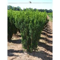 Nicht-Fruchtende Bechereibe 80-100 cm, Wurzelballen | Gardline
