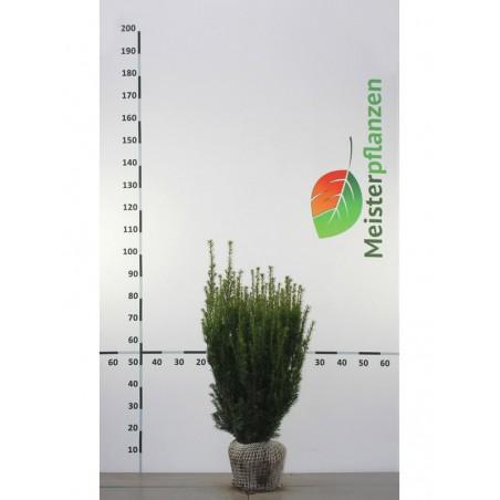 Nicht-Fruchtende Bechereibe 120-140 cm, Wurzelballen EXTRA | Gardline