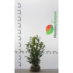 Kirschlorbeer Caucasica 80-100 cm, Wurzelballen