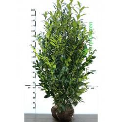 Kirschlorbeer Caucasica 120-140 cm, Wurzelballen