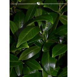 Kirschlorbeer Caucasica 140-160 cm, Wurzelballen