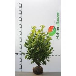 Großblättriger Kirschlorbeer Rotundifolia 60-80 cm, Wurzelballen