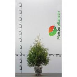 Lebensbaum Thuja Brabant 60-80 cm, Wurzelballen | Gardline
