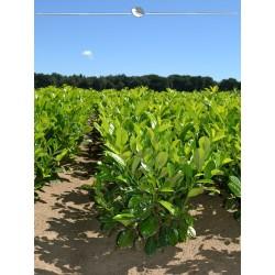 Großblättriger Kirschlorbeer Rotundifolia 80-100 cm, Wurzelballen