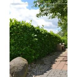 Großblättriger Kirschlorbeer Rotundifolia 100-120 cm, Wurzelballen