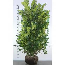 Großblättriger Kirschlorbeer Rotundifolia 120-140 cm, Wurzelballen