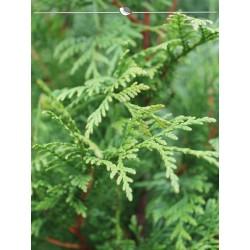 Lebensbaum Thuja Plicata Atrovirens 180-200 cm, Wurzelballen | Gardline