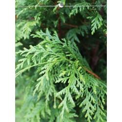 Lebensbaum Thuja Plicata Atrovirens 100-120 cm, Wurzelballen | Gardline
