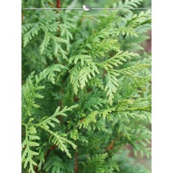 Lebensbaum Thuja Plicata Atrovirens 200-225 cm, Wurzelballen | Gardline