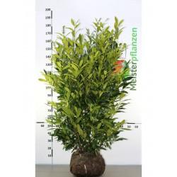 Kirschlorbeer Herbergii 100-120 cm, Wurzelballen
