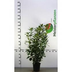 Kirschlorbeer Novita 80-100 cm, Wurzelballen
