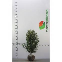 Portugiesischer Kirschlorbeer Angustifolia 60-80 cm, Wurzelballen