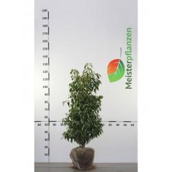 Portugiesischer Kirschlorbeer Angustifolia 80-100 cm, Wurzelballen