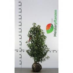 Portugiesischer Kirschlorbeer Angustifolia 100-120 cm, Wurzelballen