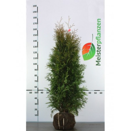 Lebensbaum Thuja Brabant 120-140 cm, Wurzelballen | Gardline